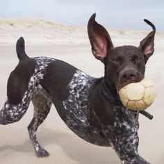 """The German Shorthaired Pointer """"Up Close""""  And this is why I am absolutely head over heals in love with this breed! <3"""