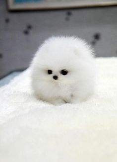 White teacup pomeranian.