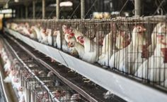 Cage-free hens don't improve egg food safety, nutrition levels