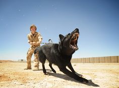 Dogs at Work runner-up  An army dog at work in Afghanistan, by Alex Fairfull. Alex is a freelance photographer who was asked to go to Afghanistan by a newspaper to cover dogs at war. This is a picture of a training session with a pedigree German shepherd.  Alex crouched down to get this shot of the dog in action