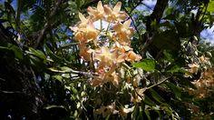Florecen en mi tierra guaraní Adornan a las ventanas del.alma Asunción,  Paraguay  Corazón  de América del Sur