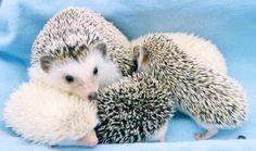 A ball of hedgehog