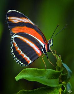 banded orange long wing butterfly