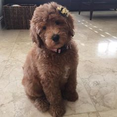 Red Goldendoodle puppy Brandy McDoodles!