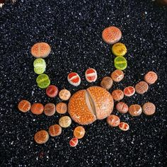 Lithop Crabby.. tag us in your favorite succulent art! via @mzgardens⠀ Follow us @succulentcity ⠀ #succulentcity to be featured!!⠀ #succulents #succulentarrangement #succulent #succulove #succulentgarden #succulentaddict #succulentsofinstagram #cacti #cactus