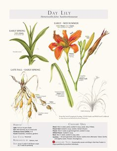Foraging & Feasting Limited Edition Print - Day Lily