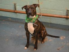 GONE 12/19/14 Brooklyn Center   My name is GOTTI. My Animal ID # is A1023202. I am a male br brindle and white am pit bull ter mix. The shelter thinks I am about 1 YEAR old.  I came in the shelter as a OWNER SUR on 12/15/2014 from NY 11213, owner surrender reason stated was CHILDCONFL.  https://www.facebook.com/photo.php?fbid=924180710928142
