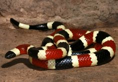 The dangerous Arizona, or Sonoran, coral snake (Micruroides euryxanthus). Coral snakes are shy and rarely seen. They are highly venomous snakes, but bites are relatively rare. Most bites occur when a snake is stepped on or handled. This species is found in Arizona and New Mexico. ©Wolfgang Wuster