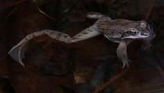Wood frogs arrive at vernal pools, on Mary Holland's Naturally Curious blog. Listen for their duck-like mating calls!