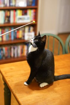 Clicker Training: teach cat to sit, follow, come when called