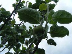Baby apple mid June