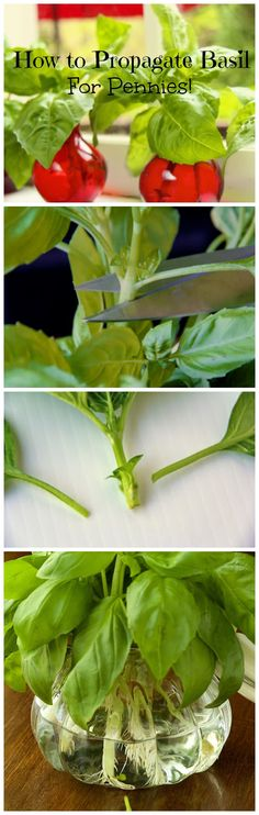 How to Propagate Basi for Penniesl - a really inexpensive way to have mountains of fresh basil! - from The Café Sucré Farine.com