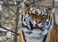 Siberian big cat flosses on a nearby branch to stop his teeth decaying
