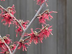 Hamamelis x intermedia 'Diane' I HAVE ONE coming through its 2nd winter, last 2 summers were hot and dry, it is struggling, needs babying for this year