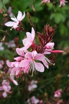 Gaura lindheimeri 'Siskyou Pink' (Lindheimers prachtkaars) Lichtroze bloemen van juni tot oktober Voor bij het terras.