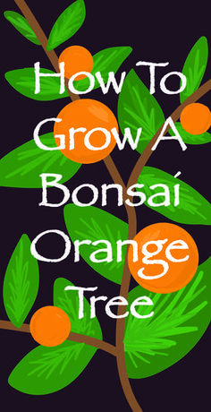Did you know you can grow fruit trees as bonsai? Here is how to grow and care for a bonsai orange tree, the miniature citrus plant calamondin orange.