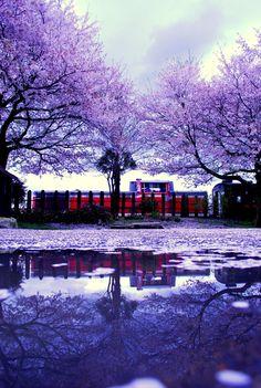 水たまり 桜 - Google 検索