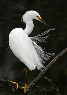 Snowy Egret - Egretta Thula, Everglades National Park, Florida