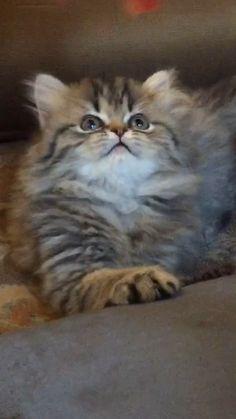 Persiankittenpals.com #Golden Persian kitten #cute #kitten Little Tigger