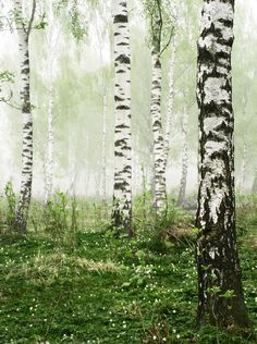 Birch trees - all time favorite tree