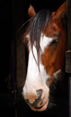 Clydesdale Horse - Those whiskers!!! - by Steveinnz