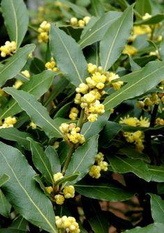 Laurus Nobilis, Laurel Plant, Media Sombra, Plantar, Beautiful Gardens, Home Remedies, Organic Gardening, Poultry, Fruit