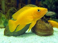 Lemon cichlid | Lemon Cichlid (Neolamprologus leleupi) Care and Advice
