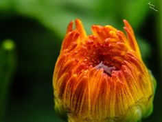 Theme: Open Title: A Chrysanthemum Blossom Opens