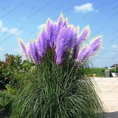 Perfect Purple Pampas Grass Seeds Ornamental Plant Flowers Cortaderia Selloana Grass Seeds Pieces Lot Grass