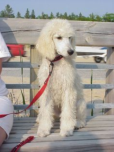 "All sizes | Standard Poodle ""Abby"" 9 