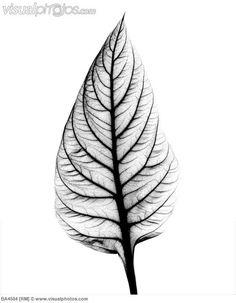 x-ray leaf tattoo leaves