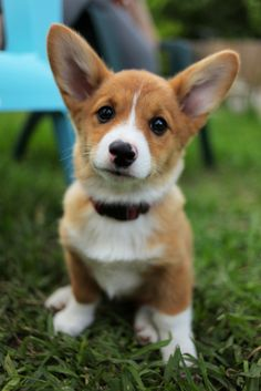 i have this feeling that a corgi would be a great little brother for tazzy!! :)