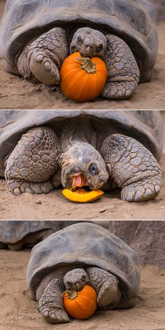 130-year-old tortoise proves you're never too old to celebrate Halloween.