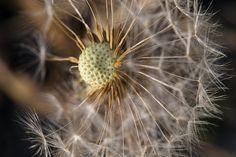 Dandelion, Wordpress, Blog, Flowers, Plants, Dandelions, Florals, Planters, Flower