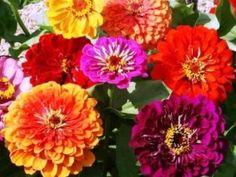 David's Garden Seeds Flower Zinnia California Giants Heat Tolerant DGS0987 (Multi Colors) 500 Heirloom Seeds *** Startling review available here  : Gardening Flowers