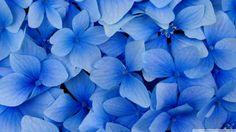 Flowers Blue Christmas Clusters Rose Plants Hydrangea Blooms