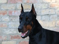 Canis Panther ( Mercy) Favorite Dogs Pinterest Dog
