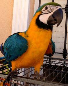 Aves, los vertebrados con capacidad para el vuelo. Información sobre aves y pájaros domésticos, también especies rapaces.