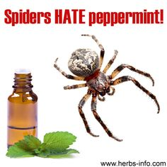 Keep spiders away naturally - 10 to 15 drops of peppermint essential oil to a spray bottle full of water, and then spraying it in the places where spiders lurk / where they enter the home. Brilliant, simple, non-toxic and natural – and anything that does away with the need for nasty chemicals in the home is fine by us! Your house will even smell nicer!
