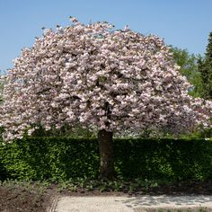 7ft Prunus 'Shirofugen' Cherry Blossom Tree | Half Standard | 18L Pot Cherry Blossom Tree, Blossom Trees, Cherry Tree, Replant, Nature Plants, Edible Plants, Prunus, Types Of Soil, Types Of Flowers