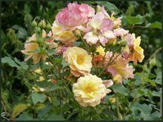 Dessine-moi... une Rose