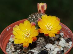 Sulcorebutia polymorpha