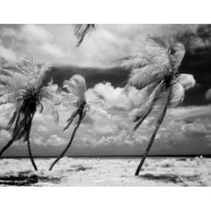 USA Florida Florida Keys infrared photograph of palm tree Canvas Art - (24 x 36)