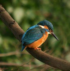 fresh water birds of texas   kingfishers birds