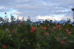 02.02.15 Piante Faro | Tom Stuart-Smith.  Mt. Etna seen thru Grevillea johnsonii