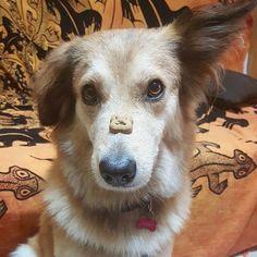 L'autocontrollo di Alice ci commuove  Foto di: @sinavaly83  #BauSocial  Autocontrollo  #Alice #alicethedog #petstagram #petsofinstagram #instapets #instadog #dogsofinstagram #dog #lovemydog #biscotto #autocontrollo #milano #instafamous #cane #alice #wonderland #biscuits #love #doglovers
