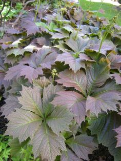 Rodgersia - LOVE this color. It may be 'Rotlaub'