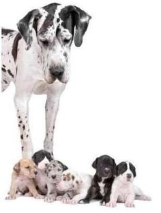 great dane dog looking at the cute puppies Wall Decal Big Dogs, I Love Dogs, Cute Dogs, Dogs And Puppies, Corgi Puppies, Cute Dog Costumes, Most Beautiful Dog Breeds, Sweet Dogs, Great Dane Puppy