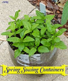 Spring Sowing Containers are a faster, easier way to start warm weather milkweed seeds including tropical milkweed. Learn the differences between spring and winter sowing and discover how to give your milkweed seedlings a huge head start each spring. Butterfly Garden Plants, Spring Plants, Garden Fountains, Garden Trellis, Garden Seeds, Companion Planting, Flower Planters, Garden Paths, Garden Projects