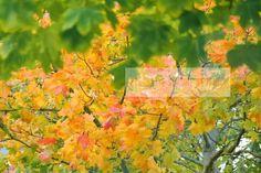Leuchtender Herbst - es könnte mehr Bäume davon geben...